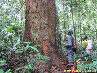 图:西非利比里亚林场林业局校验林木数量 点击可放大