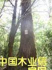 东南亚铁杉原木