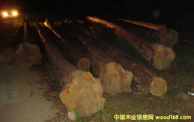 大径原杉木
