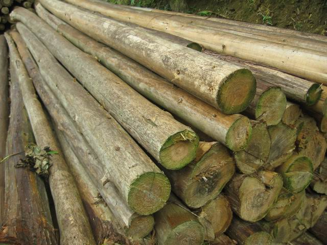 广西百色杉木原木