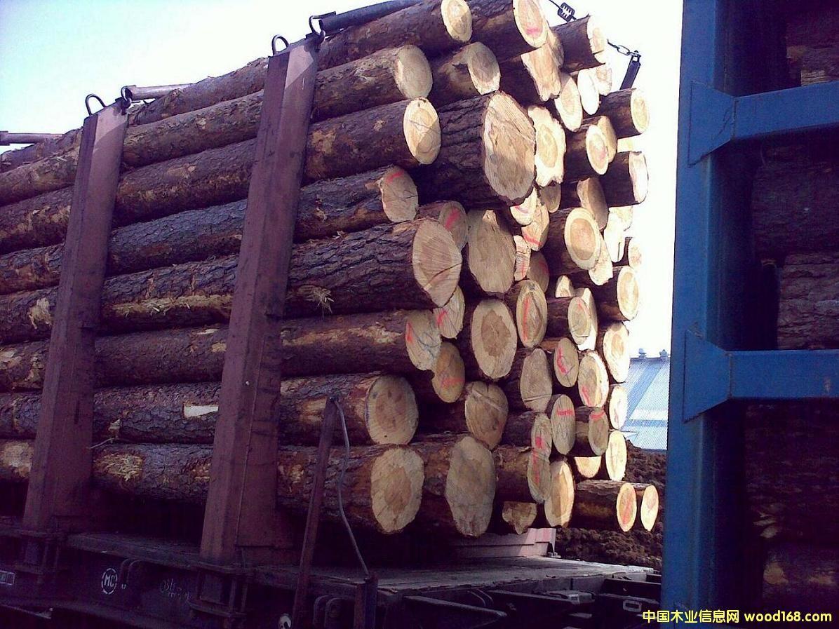 立陶宛樟子松原木