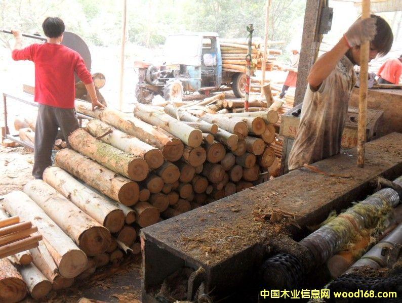 桉木单板生产