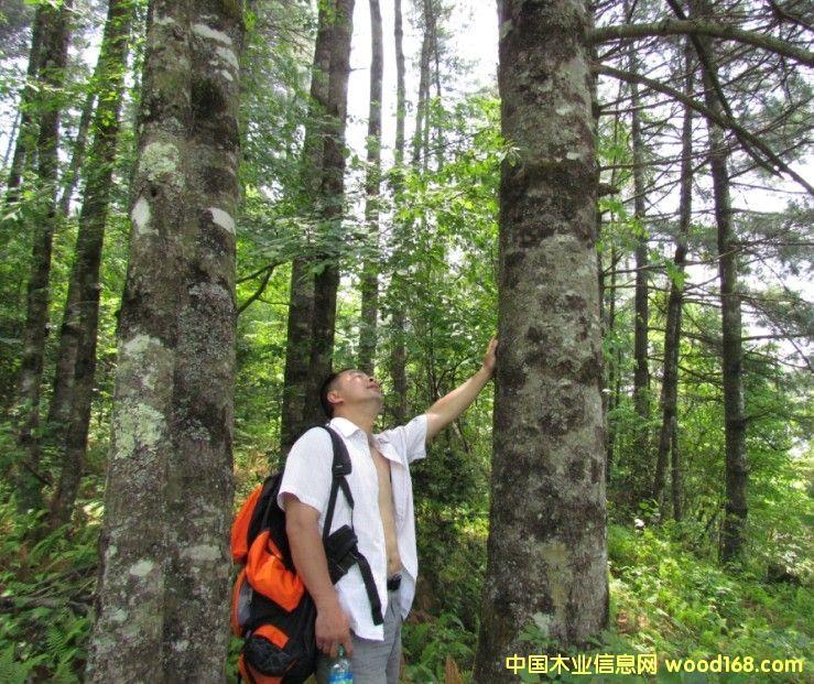四川省广元青松树、水青冈11000亩树林转让