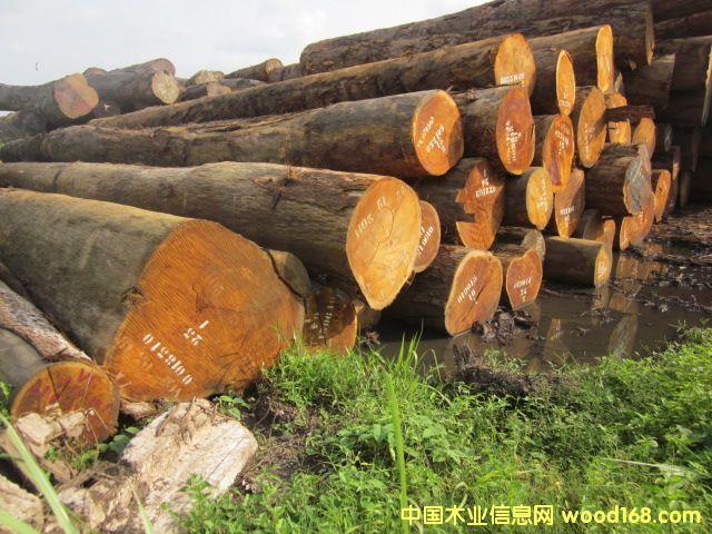 Bilinga 巴蒂木,非洲黄胆木