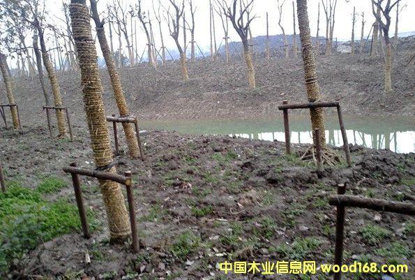 绿化工程木桩