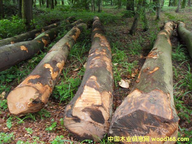 榉木 原木