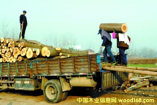 安徽铜陵市速生意杨原木外销加大