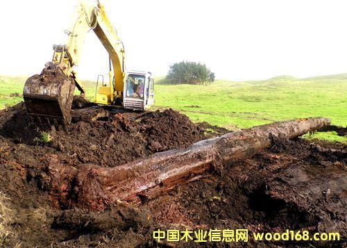 新西兰5万年阴沉木 挖掘现场