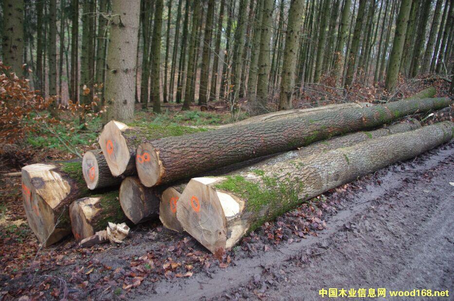 欧洲水曲柳原木外商