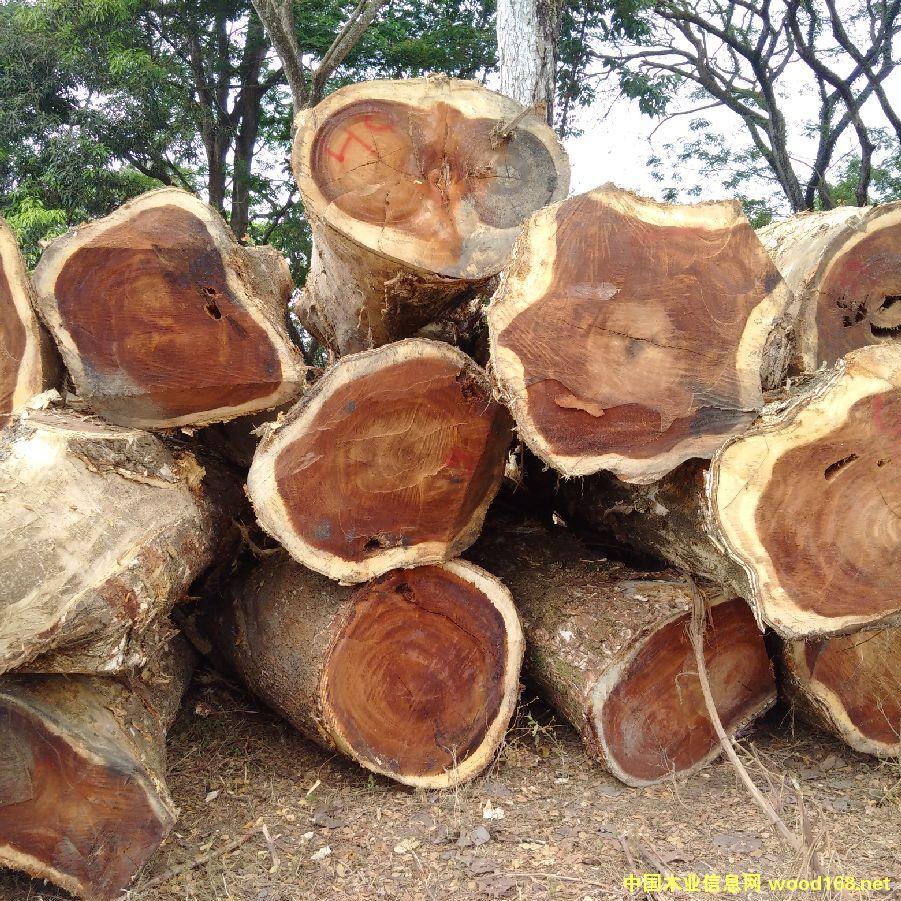 南美胡桃木(雨木、琥珀木)