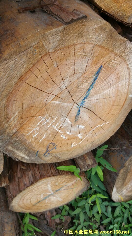 美国扁柏原木