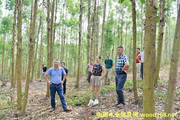 广西祥盛木业客户:不可思议的刨花板原料林