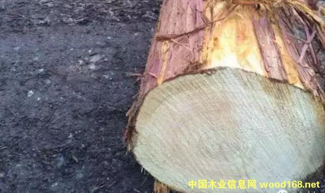 日本黄桧原木