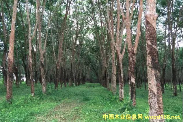 泰国橡胶木的特性和加工工艺