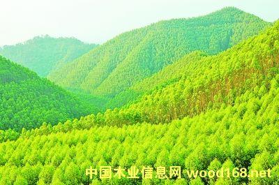 广西上思县那琴乡的桉树林