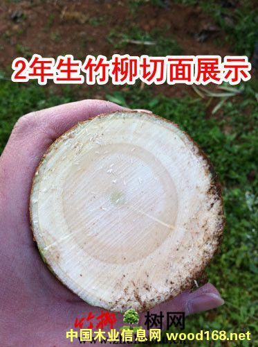 竹柳产业报告:速生竹柳机遇与木材危机
