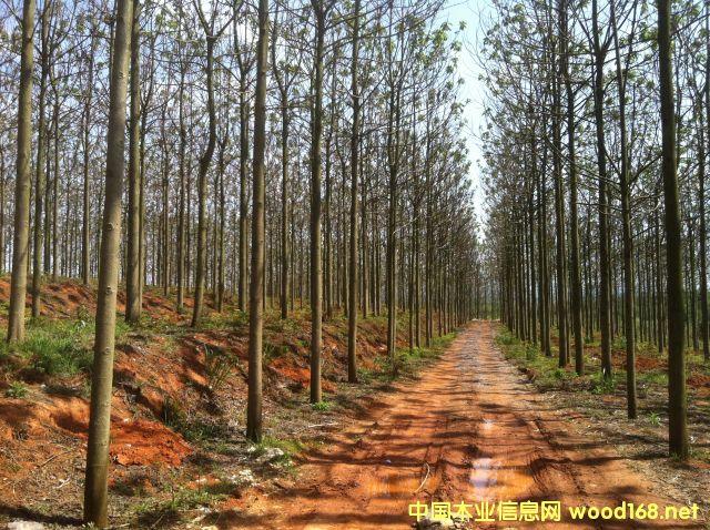 泡桐树产品供应大市场