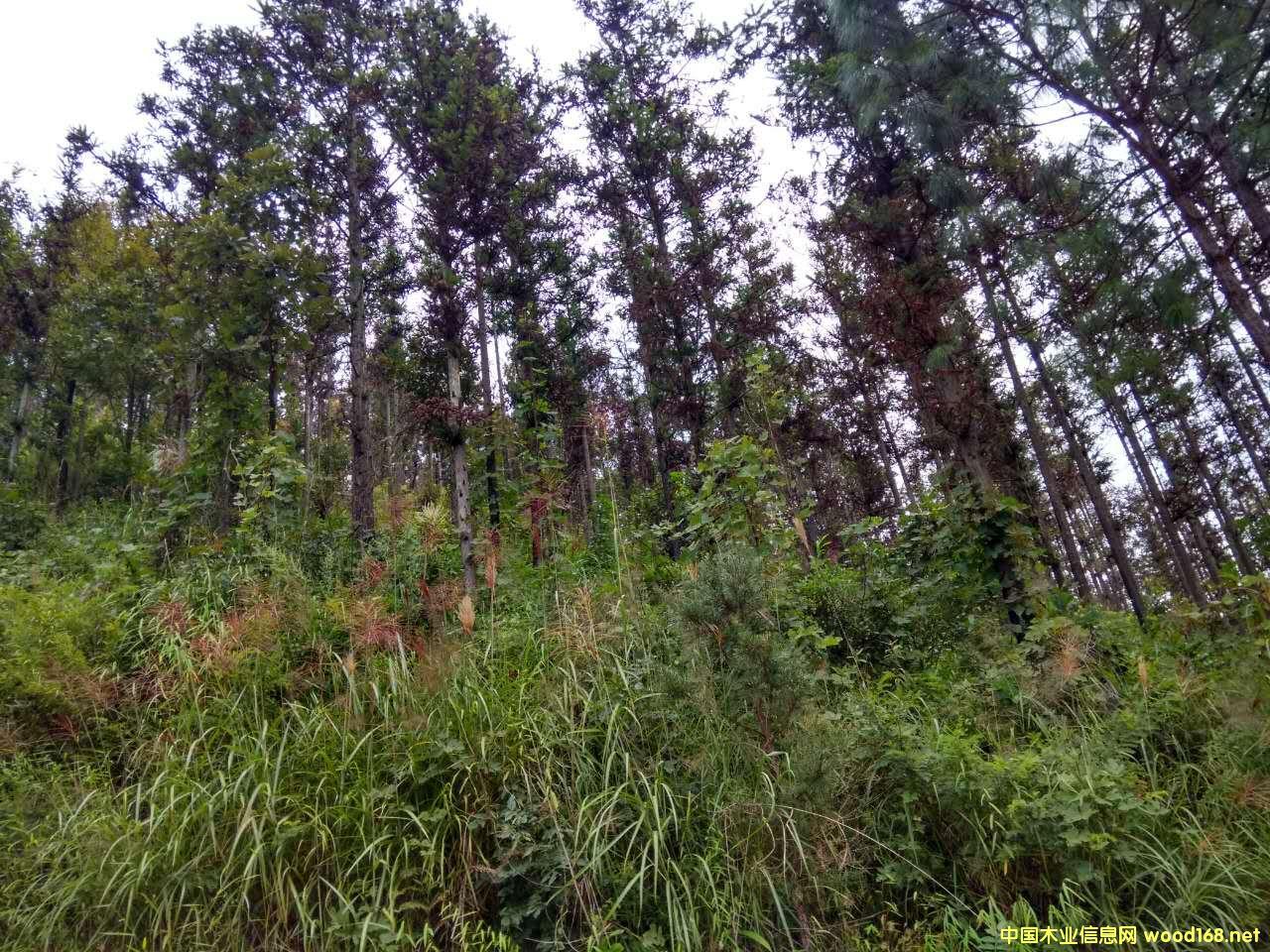 杉木原木对外销售公告