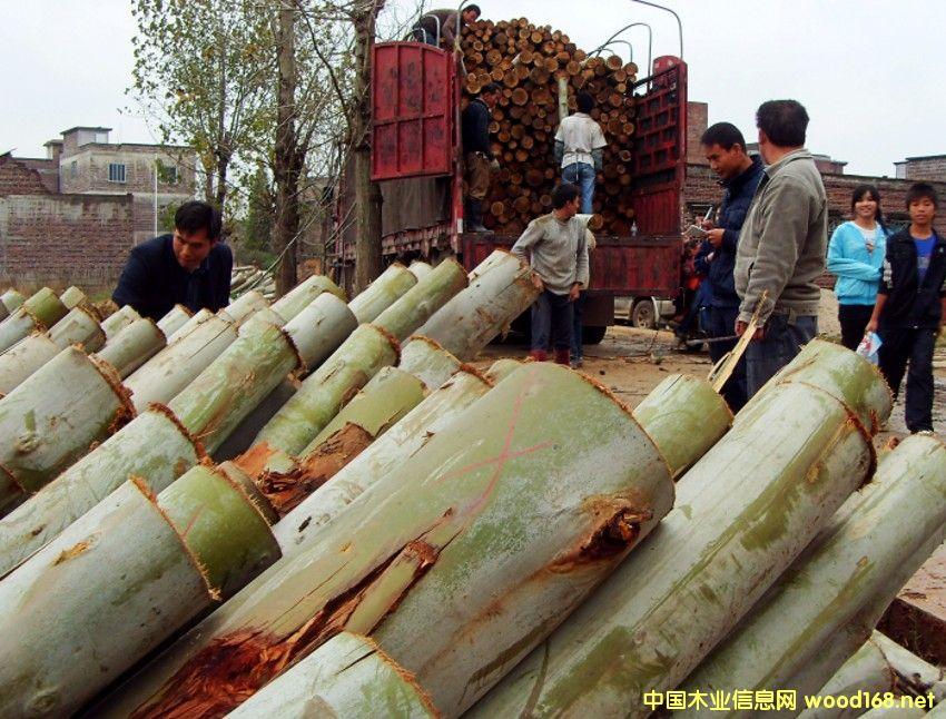 广西桉树原木