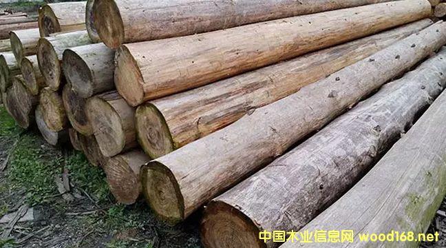 广西南丹山口林场杉木大径材