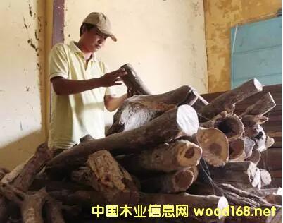 国际红木观察:越南紫檀柳木材交易种出的苦果