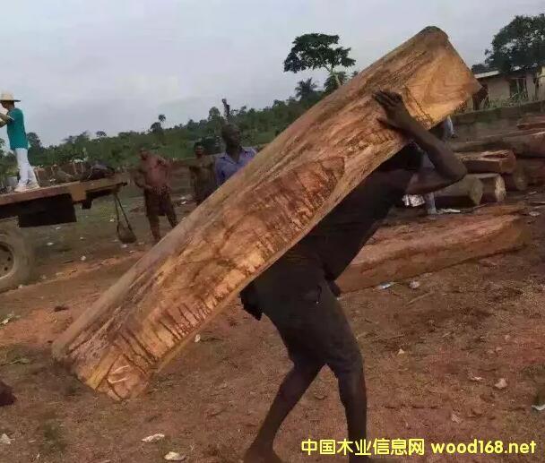 CITES大会9.24召开,塞拉利昂提议刺猬紫檀列入二级濒危