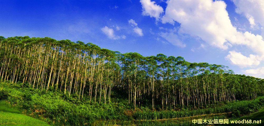 速生桉人工林让胶合板生产更上一个台