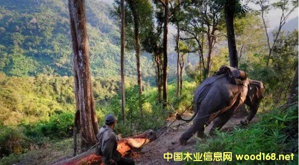 老挝政府严禁所有未经加工的木材出口
