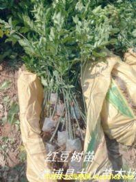红豆树苗 鄂西红豆树