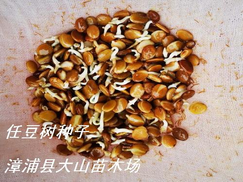 任豆树种子、翅荚木