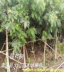 银桦树移植苗