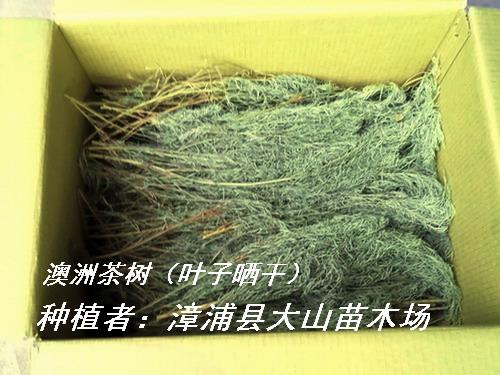 澳洲茶树叶,提取精油原料