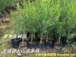 澳洲茶树叶,互叶白千层枝叶,精