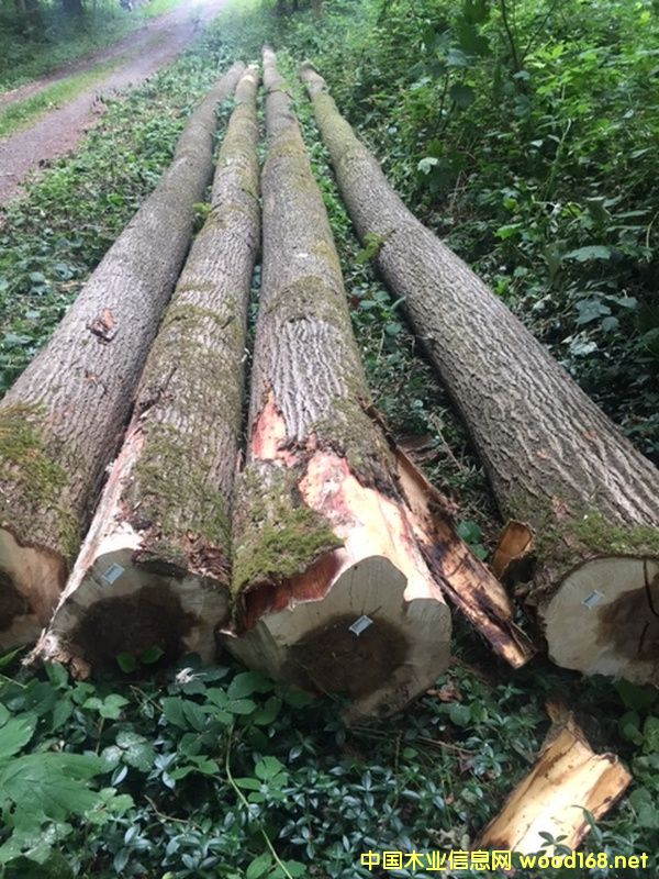 法国杨木原木