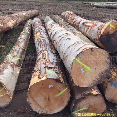 金威欧洲榉木直边板长中短