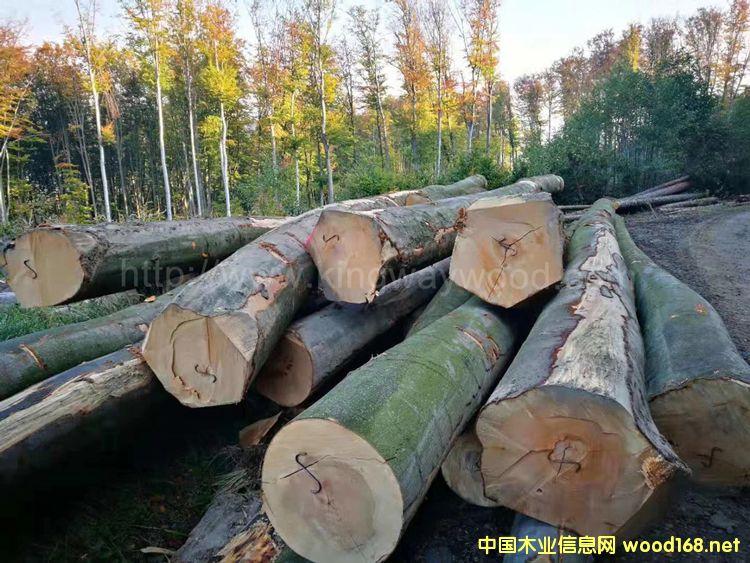 [供] 金威木业欧洲榉木 实木 板材 木板 地板 榉木 木料 木材 直边原木
