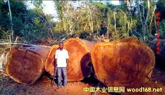 木材百科:大绿柄桑(Iroko),非洲黄金木
