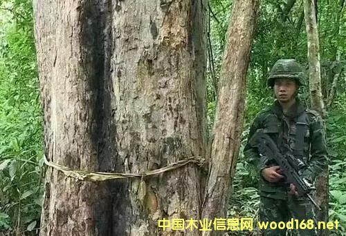 三天查获80吨贵走私重木材,缅甸再加大打击走私力度!