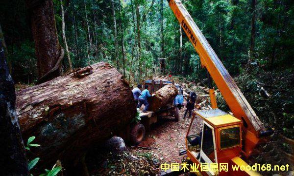 缅甸政府已经出台新的红木木材政策3
