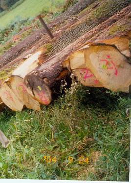 欧洲橡木European White oak logs